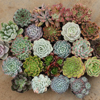 """12 Mixed Sizes Succulents (6)  2"""" and (6) 2.5""""  containers Ideal for Wedding favors party gifts Echeverias"""