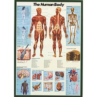 Anatomy of the Human Body Educational Poster 27x39