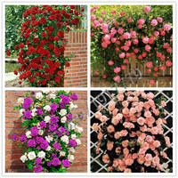 100 pcs Climbing Rose seeds, rare rose flowers seeds in bonsai, DIY Home Garden Courtyard Pot Flower Plant Multi-color selection