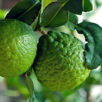 5 Kaffir Lime seeds, large leaves, vegetable herb for thai foods, organic Kaffir Lime seeds, heirloom seeds