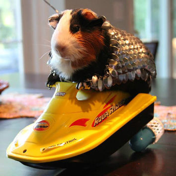 Hand-made Guinea Pig Scale-Mail and Helmet (Armor)