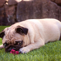"""Pug Valentine's Day Photography, Romantic Gift For Her, Puppy Love, // 8x12"""" Digital Photography, Home Decor, Wall Art - Lovepug Bite"""