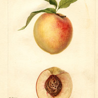 Peaches, Connetts Southern Early (1893)