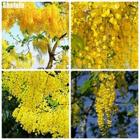 Arabian Bonsai Golden Wisteria Seed Yellow Wisteria Seed Of Perennial Garden Flowers Purify The Air Absorb Harmful Gases 30 Pcs