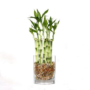 Brussel's Bonsai 12 in. Fence Bamboo in Square Glass Container-DT-7007L7B - The Home Depot