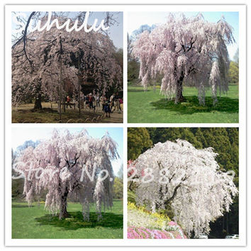 15 particles Rare White fountain weeping cherry tree seeds dwart tree seeds pretty and elegant tree bonsai diy home garden