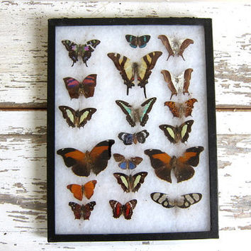 Vintage Framed Butterflies. Specimens box with insects. Wall hanging picture AS IS