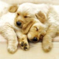 Sleeping Puppies Kimberlin Cute Dog Animal Poster 16 x 20 inches