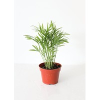 """LIVE Bella Palm House Plant in 4"""" Pot - Ships Alone"""