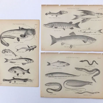 Fish, 3 Bookplates, Antique Plates, 19th Century Black and White Pictures, Fishes, Home Decor, Physostomi