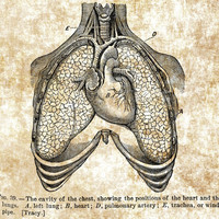 lungs trachea clip art png digital image download biology medical science printables