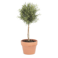 "18"" Rosemary Topiary in Pot, Live, Topiaries"