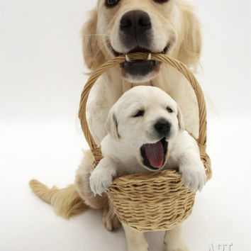 Domestic Dog (Canis Familiaris) Carrying Puppy in Basket Premium Poster by Jane Burton at Art.com