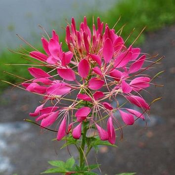 Cleome Rose Queen Flower Seeds (Cleome Hassleriana) 50+Seeds