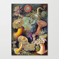 SEA URCHINS Canvas Print by Kathead Tarot