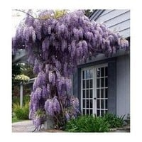 Hinterland Trading Blue Japanese Wisteria Vine 5 Seeds - Hard to Find! Rare