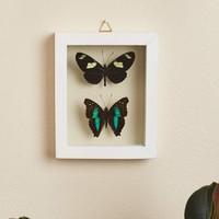 Two Butterflies in White Frame