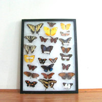 Vintage Framed pressed Butterflies. Riker Specimen box with brown and yellow butterflies. Wall hanging picture