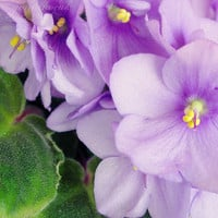 Flower Photography print purple violet wall decor for women,  nature photography, green, home decor, photoprint, 8 x 8 inch, spring