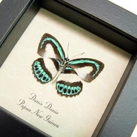 Electric Blue Danis Danis Real Framed Butterfly 2549