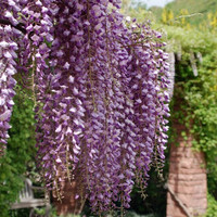 Heirloom 15 Wisteria Seeds Tree Seeds Wisteria sinensis Chinese Wisteria Vine Purple Flowers Bonsai Seeds T017
