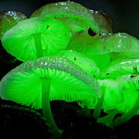 Glow in the Dark Mushroom  Growing Habitat Kit