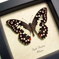 Real Common Lime Butterfly Papilio Demoleus Free Shipping 152