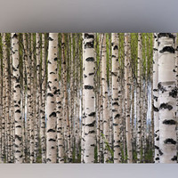 Birch Trees - Photography Backdrop