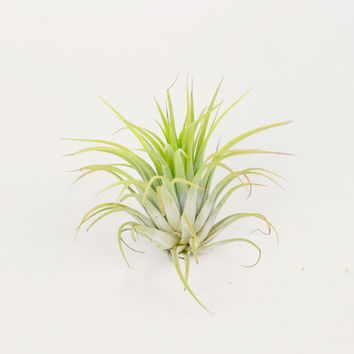 Guatemala Air Plant, Single (Voucher Code redeemable at check-out - One code per order)