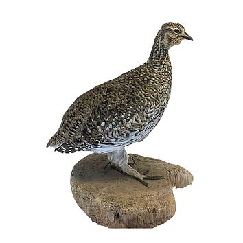Sharptail Grouse Bird Professional Taxidermy Mounted Animal Statue Home or Office Gift