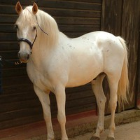white horse for sale - Google Search
