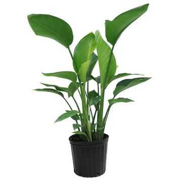 Delray Plants White Bird of Paradise in 9-1/4 in. Pot-10WHITE - The Home Depot