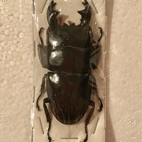 OVERSTOCK: Giant Stag Beetles, Dorcus alcides  Real