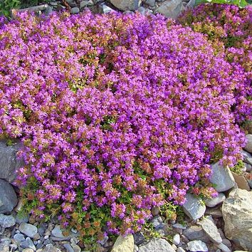 Creeping Thyme Pre-Seeded Flower Mat with Soil
