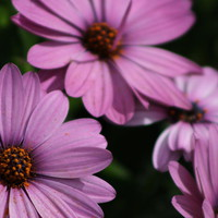 Deep Violet Purple African Daisy by Colleen Cornelius