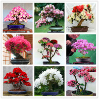 10 Pcs/bag Rare 18 Varieties Sakura seeds Japanese Cherry Blooms bonsai Flower Seeds sakura tree DIY Home & Garden Plant