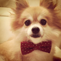 Stars and Gingham print, Custom Bow ties for Puppy/Dog/Cat