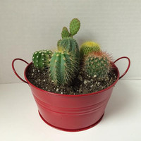 """Cactus Plant. - DIY Complete Dish Garden Set  includes 6 small cacti, soil & """"pail"""" Great gift!!!"""