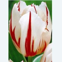 Tulip Happy Generation Dormant Bulbs (20-Pack), 70157 at The Home Depot - Mobile