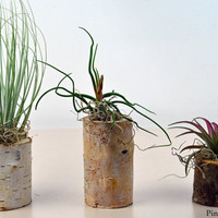 group of three air plants in natural branch