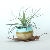 Air Plant Planter with Air Plant - Aqua, Chartreuse with Gold dots
