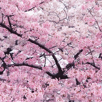 10 pieces/pack Pink Cherry Blossoms tree Seeds Free Shipping bonsai tree seeds