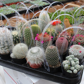 """3 Awesome Cactus For Sale in their 2.5"""" round containers All are labled with names succulents succulent"""