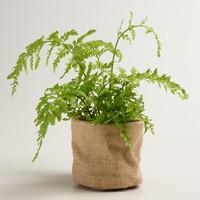 Live Mother Fern in Burlap