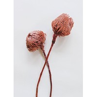 Pack of 2 - Dried Pink Banksia