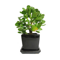 Jade Plant in Clay Planter