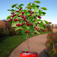 Fruit seeds 30pcs Cherry Seeds Tree Seeds Bonsai Tree Seeds, Home Garden Potted Plant DIY Home Garden decoration AA