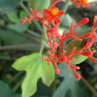 Jatropha podagrica Seeds £3.60 from Chiltern Seeds - Chiltern Seeds Secure Online Seed Catalogue and Shop