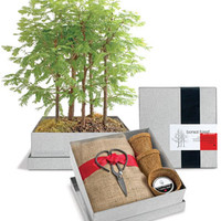 Grow Your Own Bonsai Tree Kit - Dawn Redwood Forest