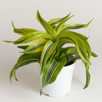 LIVE Dracaena Indoor House Plant in Bright Green - Ships Alone